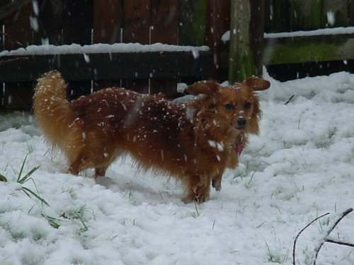 Molly in snow 3 the fox